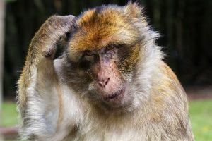 PTraining Expert - scimmia